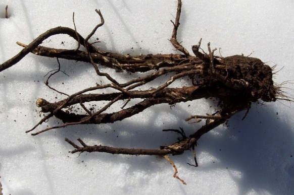 Osha-Root-r